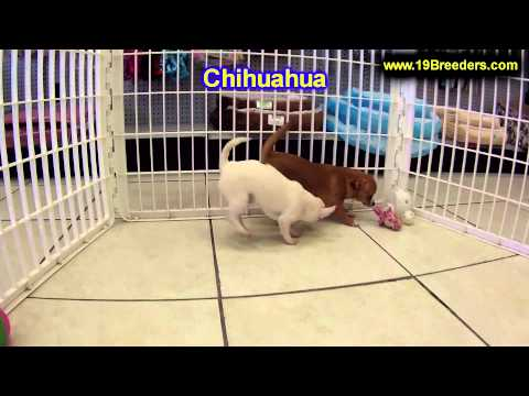 Chihuahua, Puppies, For, Sale, In, Butte Silver Bow, Montana, MT, Helena, Havre, Kalispell