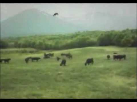 video shock: ufo cattura una mucca!