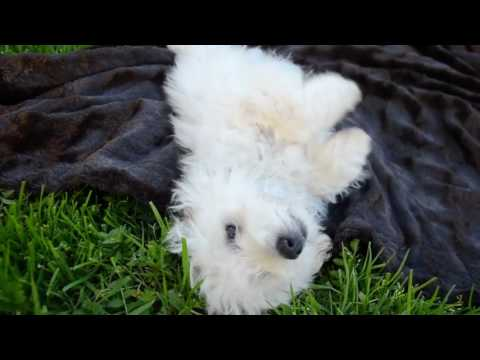 Our last Maltipoo Puppy Male