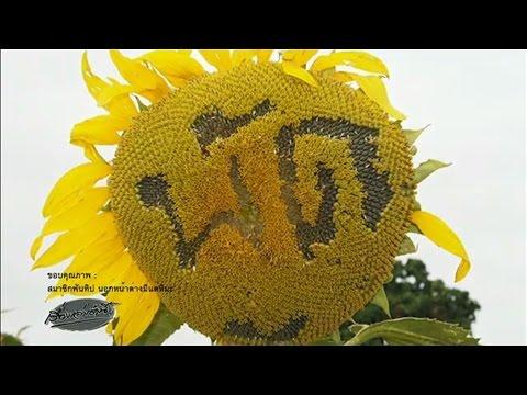 วิจารณ์สนั่น นทท.มือบอน สลักชื่อบนดอกทานตะวันที่เขาใหญ่ วอนเที่ยวอย่างมีจิตสำนึก