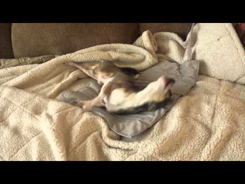 Chihuahua rolling around and being silly.