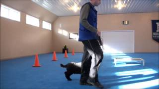 Louie (Poodle) Boot Camp Dog Training