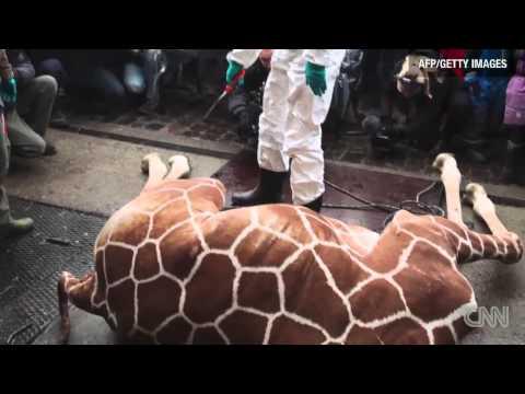 Giraffe dismembered in public at Danish Copenhagen Zoo | Zookeepr killed Marius