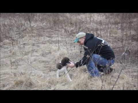 Gundog training Springer spaniel puppy first find and retrieve in the fieldGundog training Springer spaniel puppy first find and retrieve in the field<media:title />