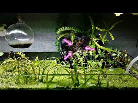 【苔】水槽周りで苔育成 #5 ホウオウゴケの新芽