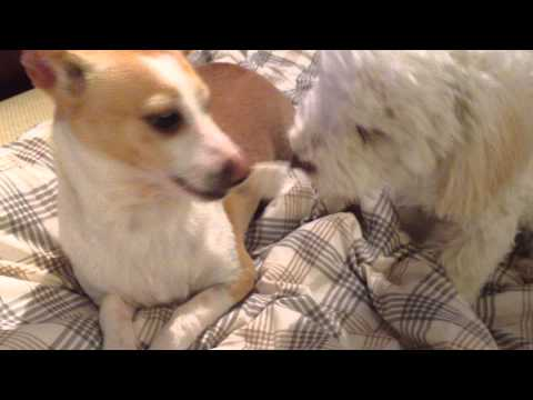 Chihuahua chat with Poodle dog