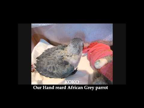 koko our hand reared african grey parrot-kuwait zoo/2010
