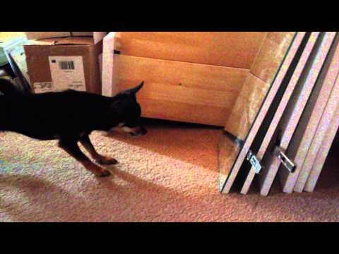 My Chihuahua barking at herself in the mirror