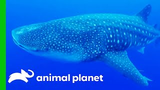 Researchers Swim With Wild Whale Sharks To Collect Important Data | The Aquarium by Animal Planet