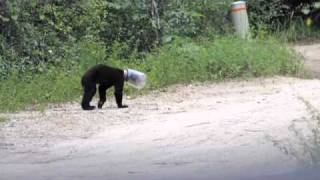 Video Jarhead bear cub rescued.mov MP3, 3GP, MP4, WEBM, AVI, FLV Mei 2017