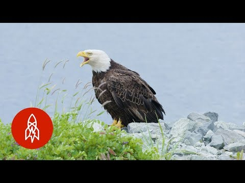 The Alaskan Town FULL of Bald Eagles