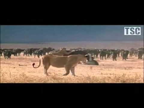 Batalla de Leones y Bufalos Parque Kruger