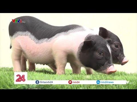 Thú chơi lợn cảnh mini của các quý cô Hà Thành @ vcloz.com