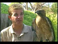 http://www.ecolifefoundation.org/ A short close up movie of Samantha a Red-Tailed Hawk and Kent Mahaffey. Berwick Productions. Thank you for your support in ...