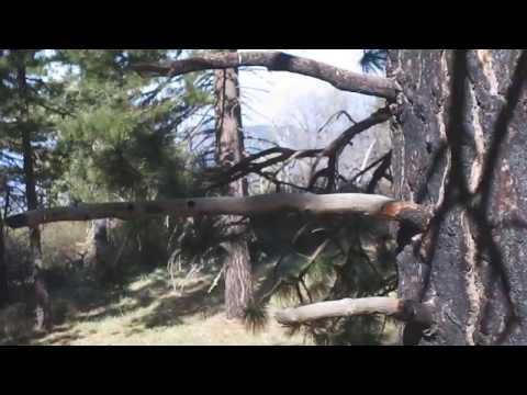 Deer in SB. CA. Mountans (видео)