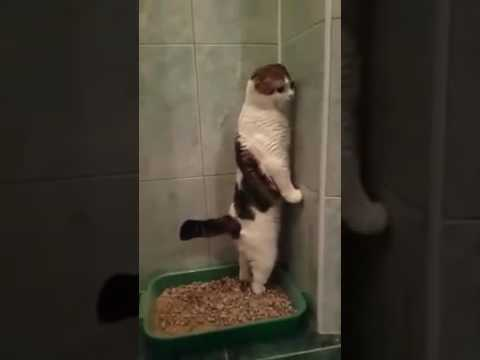 Funny Cat Can Only POOP STANDING