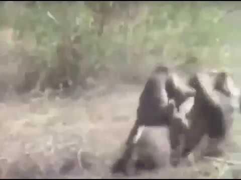 Monkey cc