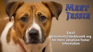 Jessie - Labrador Retriever / Saint Bernard / Mixed (medium coat) Dog For Adoption