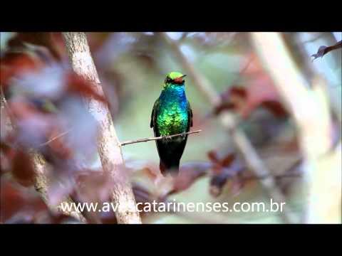 Beija-flor-besourinho-de-bico-vermelho - Cristiano Voitina