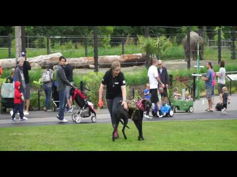 Video Ahri 4 Year Old Great Dane/Rottweiler Mix at the Zoo!! download in MP3, 3GP, MP4, WEBM, AVI, FLV January 2017