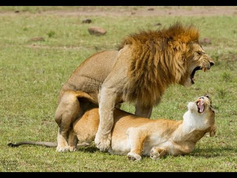 Lion Sex Video