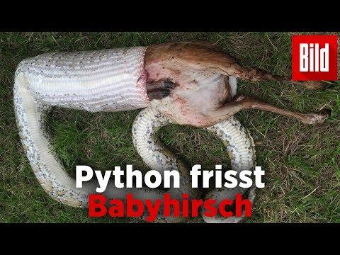 Florida: Riesenschlange frisst 16 Kilo-Hirsch
