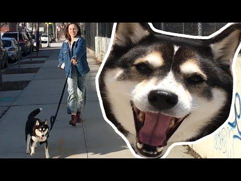 Omistaja antaa koiransa päättää mihin mennään