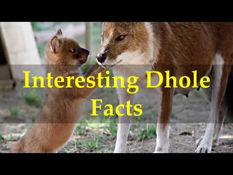 Interesting Dhole Facts