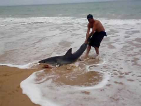 release - Great White Caught off ninety mile beach SEASPRAY.