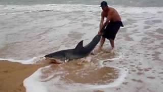 Большая белая акула возвращается в воду или Чем люди думают?