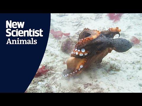 Octopussen bekogelen elkaar