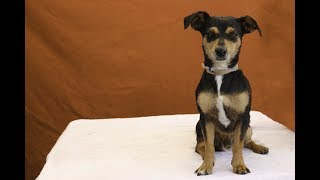 A5088956 Vernon is a confident and calm 3-year-old male tricolor (black, caramel, and white) Miniature Pinscher and Dachshund mix who came to the Baldwin Park Animal Care Center on July 12th as a stray from Baldwin Park. Weighing 16 lbs, Vernon is well behaved and social, likes people, and gets along with the three other guys sharing his kennel. Vernon appears to be housebroken, has medium energy, and is good on leash. And when he encounters big dogs, he asserts himself, despite his smaller size, to let them know to keep their distance. We think he'll be a great indoor pet and companion in just about any type of household—as long as the folks are loving and include Vernon in all the goings-on. For more information on this pet, contact volunteer UHA adoption coordinator Sandra at 323-350-7207 or sandraburkhardt07@yahoo.comUnited Hope for Animals is not a facility. To CHECK THE STATUS of this animal, contact the BALDWIN PARK SHELTER in person, by phone or on their website:Address: 4275 Elton St, Baldwin Park, CA 91706Phone: (626) 962-3577Website: http://1.usa.gov/1oB6G0pIf you end up adopting this animal, please give a shout out to #unitedhopeforanimals @UnitedHope on social media,  leave a comment here as a thank you to our Volunteers, or donate to UHA at http://unitedhope4animals/donate. Thank you for looking! Please SHARE this animal if you are unable to adopt. United Hope for Animals links:ADOPTABLE PETS: http://goo.gl/gY1ReUFACEBOOK: https://www.facebook.com/UnitedHopeTWITTER: https://twitter.com/UHope4AnimalsINSTAGRAM: http://instagram.com/unitedhopeforanimalsWEBSITE: http://unitedhope4animals.orgOur Mission:United Hope for Animals is dedicated to reducing homelessness among companion animals through spay/neuter, shelter support, photography, video and networking of shelter animals in Southern California. It is an all-volunteer, non-profit organization working to end homelessness among companion animals by supporting shelter adoptions and spay/neuter programs. T