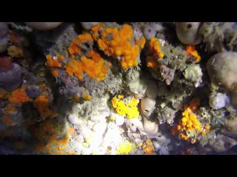 Corales blando - Astroides Calycularis