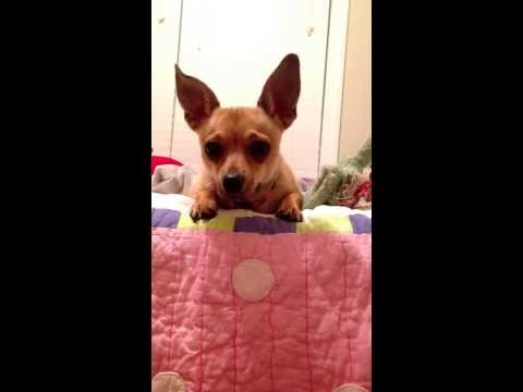 Whining chihuahua… until she gets attention.