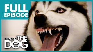 Video The Demon Husky: Diesel | Full Episode | It's Me or The Dog MP3, 3GP, MP4, WEBM, AVI, FLV Juli 2019