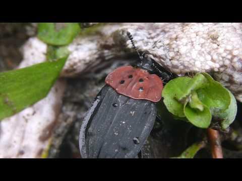 カエルの遺体にきたクロボシヒラタシデムシ Oiceoptoma nigropunctatum