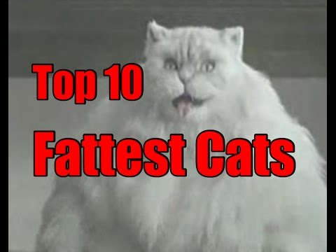 Worlds Fattest Cats - Top 10 Record Breaking Fat Cats