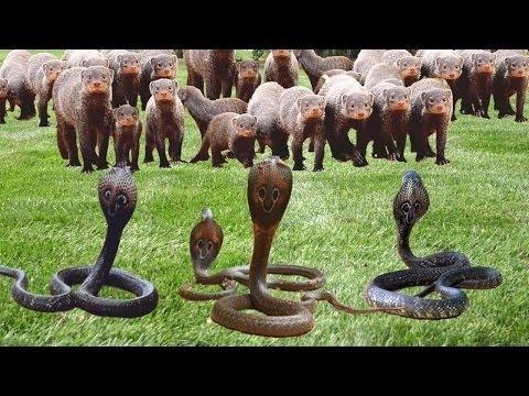 Mongoose VS Most Deadly Snake in The World, King Cobra, Black Mamba!