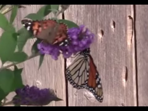 A Butterfly Bush From Spring To Fall.