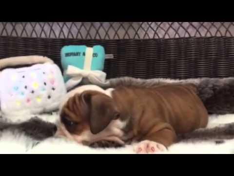 Too Cute! Red & White, Female English Bulldog
