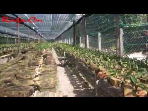 gigantea - Vườn lan ngọc điểm đai châu rừng mới trồng tháng 8-2014 Rhynchostylis Gigantea Orchids Garden vườn rộng 1500 m2. trồng khoảng 3 tấn lan giống Lan ngọc điểm h...