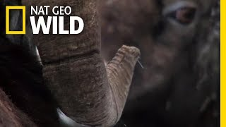 How Do Big Horn Sheep Butt Heads? | Nat Geo Wild by Nat Geo WILD