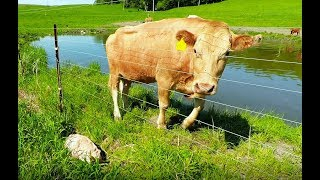 Video Mother cow clearly asks man to rescue her newborn calf MP3, 3GP, MP4, WEBM, AVI, FLV Januari 2019