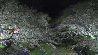 夜桜五分咲き・五条川・小弓の庄