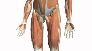 Muscles Of The Thigh Part 2 - Medial Compartment - Anatomy Tutorial