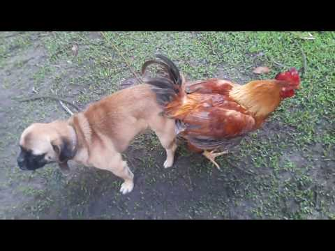 Dog and Rooster Crossbreed?