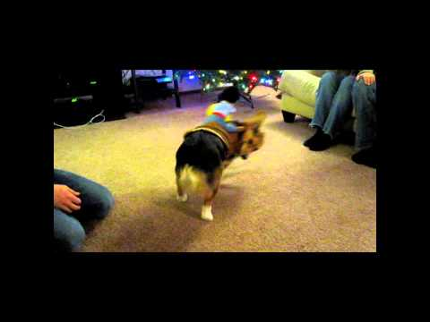 Welsh Corgi Rodeo