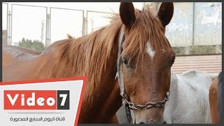 """فيديو: سر نوم """"الحصان"""" واقفا طيلة حياته"""