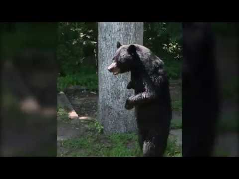 Bipedal bear spotted in NJ