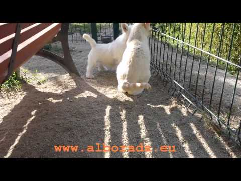 Una cachorrita westy jugando con dos gatitos en el criadero de westies Alborada y Vallbonica